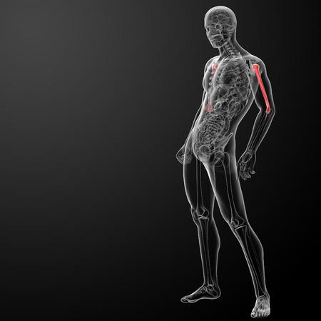 humerus: 3d rendered humerus bone - side view