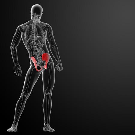 ileum: 3d render pelvis under the X-rays -  back view