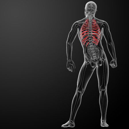 3d render illustration of the rib cage - back view illustration