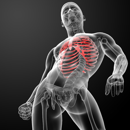 3d render illustration of the rib cage - bottom view illustration