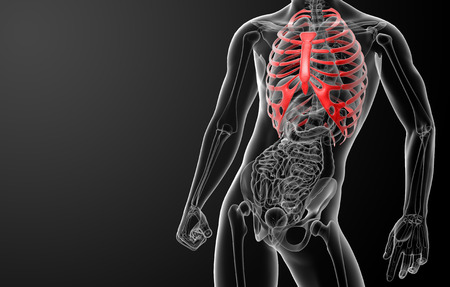 3d render illustration of the rib cage - front view illustration
