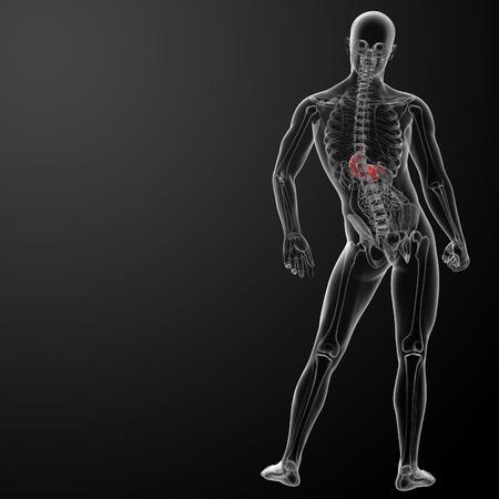 Human digestive system stomach  photo