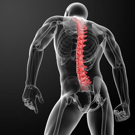 mujer desnuda de espalda: 3d Columna vertebral humana Anatom�a - vista posterior