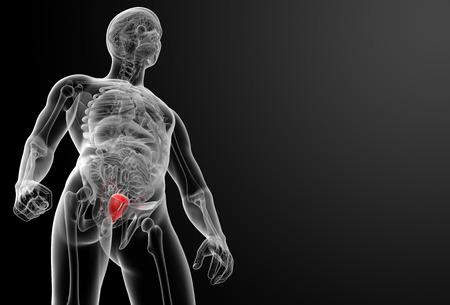 3d render bladder anatomy - front view photo