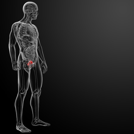 3d render bladder anatomy - side view photo