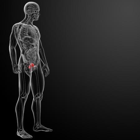 3d render bladder anatomy - side view Stock Photo