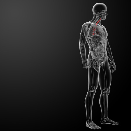 bronchi: 3d render lungs with visible bronchi - side view Stock Photo