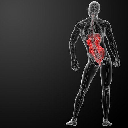 3d render human digestive system - back view photo