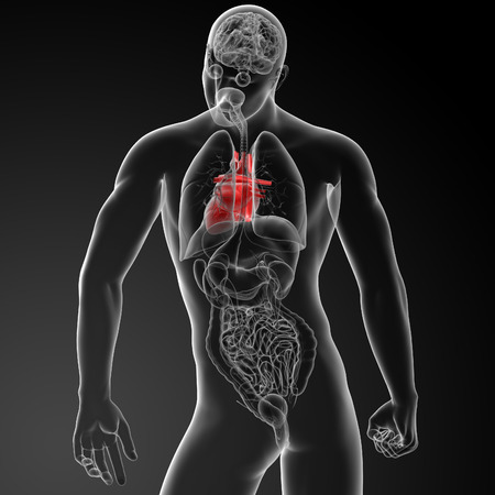 lung transplant: 3d render human heart anatomy - back view Stock Photo