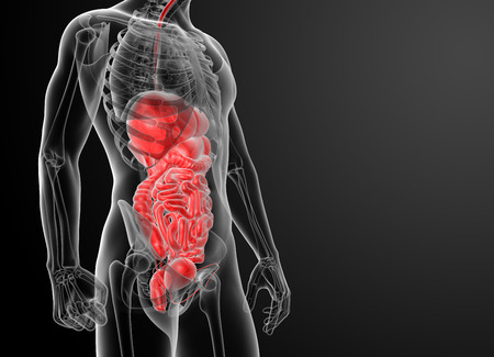 bladder cancer: Human digestive system - side view Stock Photo