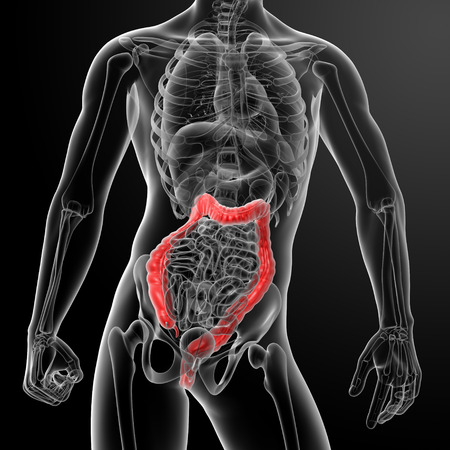 3d render illustration of the human large intestine - front view Stock Illustration - 26753789