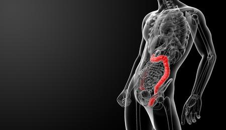 3d render illustration of the human large intestine - side view Stock Illustration - 26753790