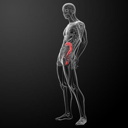 3d render illustration of the human large intestine - side view Stock Illustration - 26753792