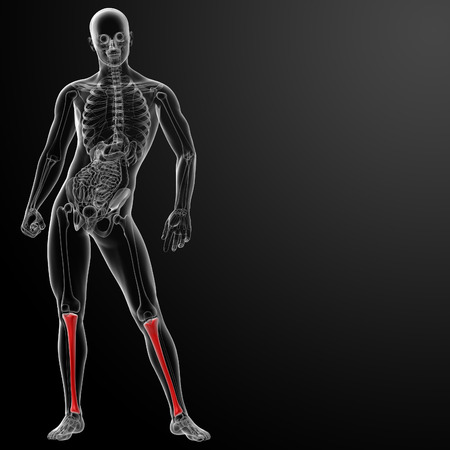 tibia: 3d render human tibia - front view