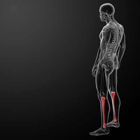 tibia: 3d render human tibia - side view