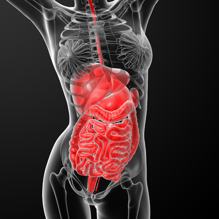 histological: 3d render illustration of the female digestive system - front view Stock Photo