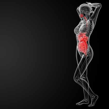 3d render illustration of the female digestive system - side view Stock Photo