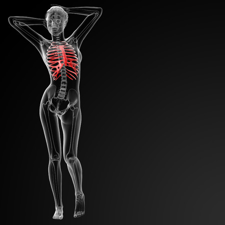 ribcage: 3d rendered illustration of the female ribcage bone - front view Stock Photo