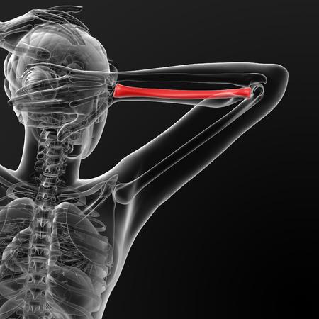 ulna: 3d render illustration of the female ulna bone - back view