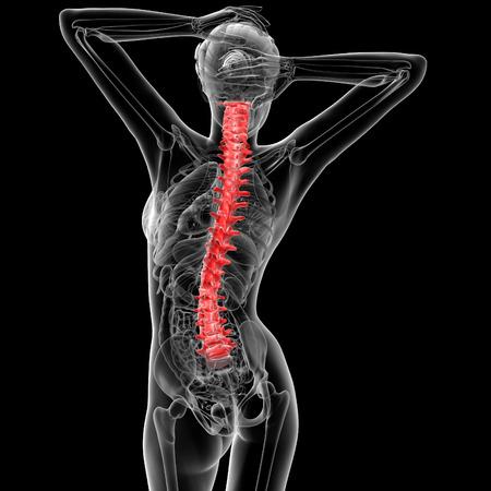 vertebral column: 3d rendered illustration of the female Vertebral column - back view Stock Photo