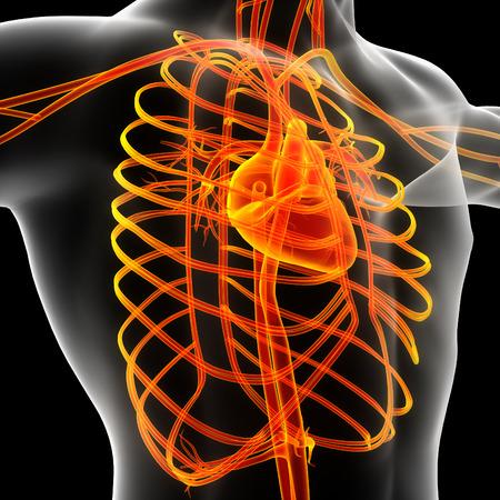 mal: 3d render illustration of the mal vascular system - side view
