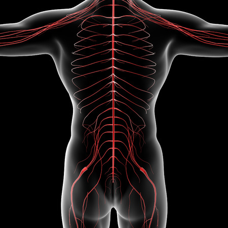 sacral nerves: 3d rendered illustration of the male nervous system - back view Stock Photo