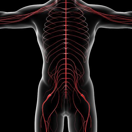 sacral nerves: 3d rendered illustration of the male nervous system - front view