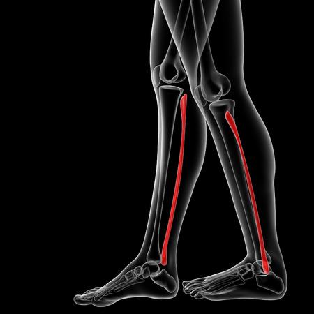 3d rendered illustration of the female fibular bone - side view