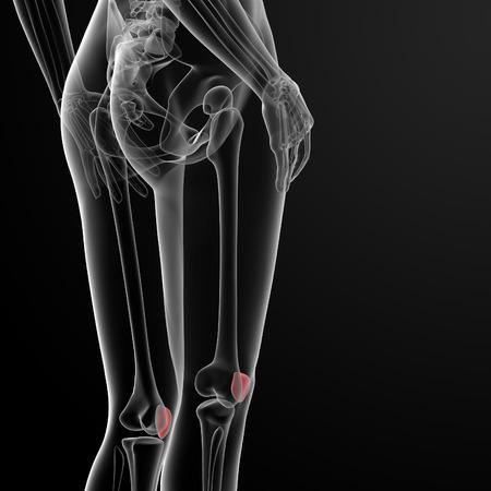 patella: 3d rendered illustration of the female patella bone - back view