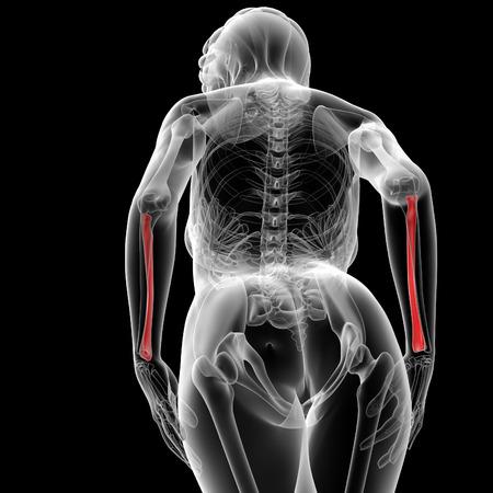 raggio: Illustrazione di rendering 3D del raggio osso femmina - vista dal basso Archivio Fotografico