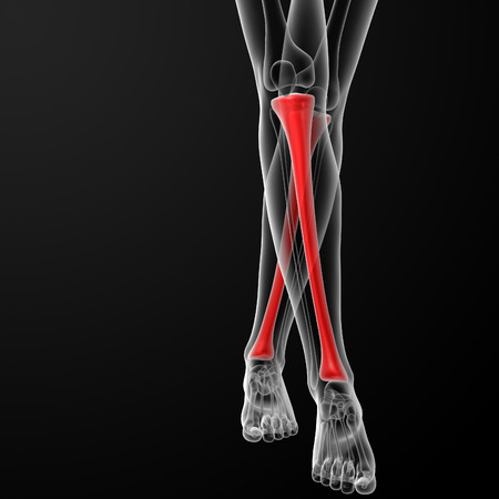 3d rendered illustration of the female tibia bone - front view