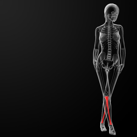 tibia: 3d rendered illustration of the female tibia bone - front view