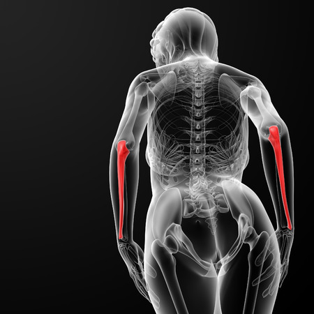 ulna: 3d rendered illustration of the female ulna bone - bottom view