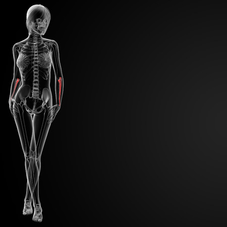 ulna: 3d rendered illustration of the female ulna bone - front view