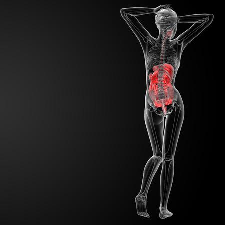 histological: 3d render illustration of the female digestive system - back view