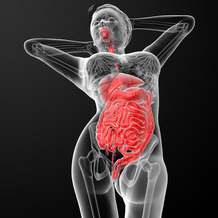histological: 3d render illustration of the female digestive system - bottom view