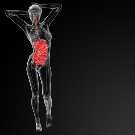 3d render illustration of female digestive system - front view illustration