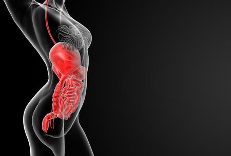 3d render illustration of the female digestive system - side view illustration