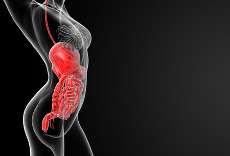histological: 3d render illustration of the female digestive system - side view Stock Photo