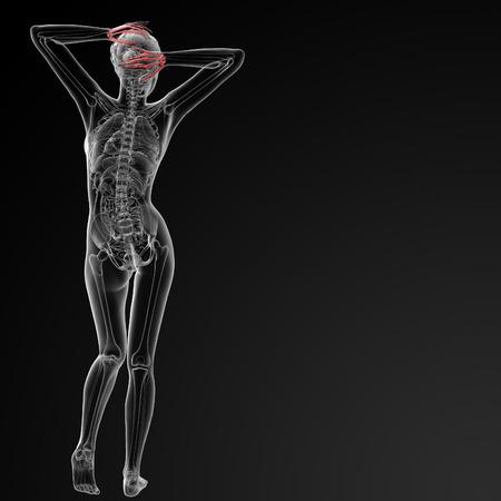 phalanx: 3d rendered illustration of the female skeletal hand - back view