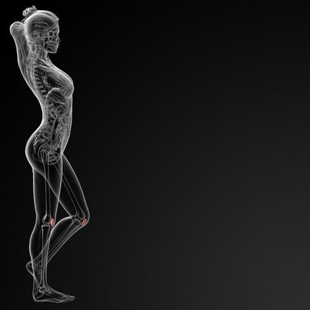 patella: 3d rendered illustration of the female patella bone - side view