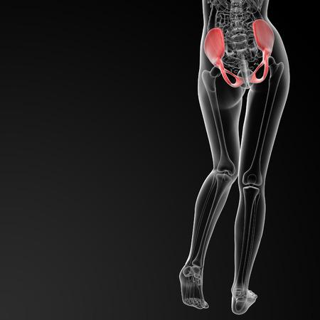 pelvis: 3d rendered illustration of the female pelvis bone - back view