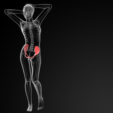 3d rendered illustration of the female pelvis bone - front view illustration