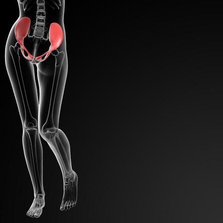 pelvis: 3d rendered illustration of the female pelvis bone - front view Stock Photo