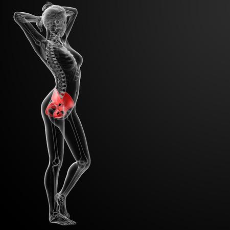 3d rendered illustration of the female pelvis bone - side view illustration