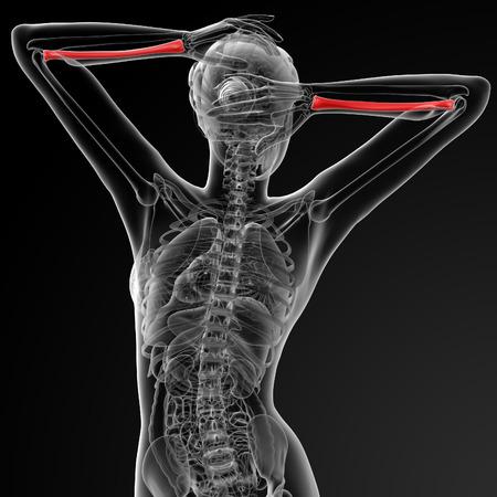 raggio: 3d rendered illustration of the female radius bone - back view