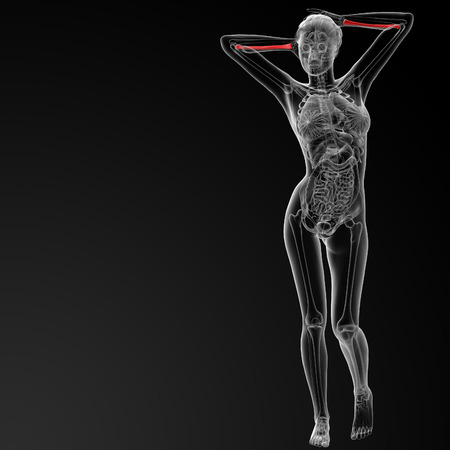raggio: Illustrazione di rendering 3D del raggio osso femminile - vista frontale