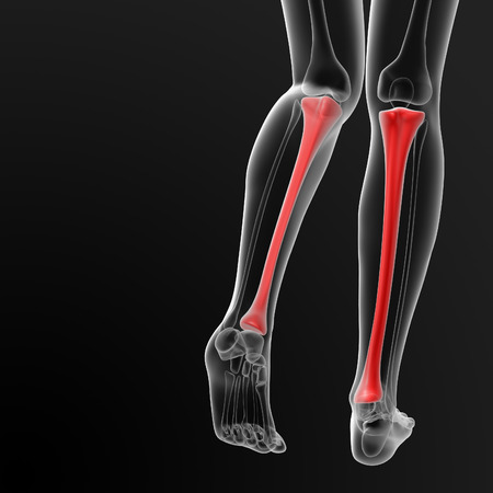 tibia: 3d render illustration of the female tibia bone - back view Stock Photo