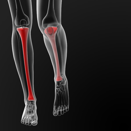 3d render illustration of the tibia bone - front view