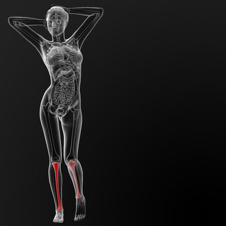 tibia: 3d render illustration of the female tibia bone - front view Stock Photo